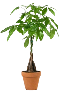 money-tree-no-background